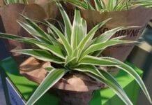 Rośliny doniczkowe – ważny temat webinarium 5.01.2021[VIDEO]