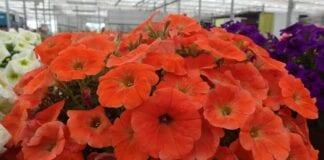 Zmodyfikowane genetycznie petunie wracają do USA