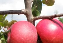 Jabłka o czerwonym miąższu 'Trinity': idealne do przetwórstwa!