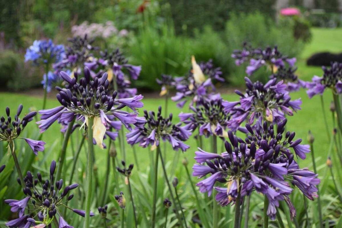 Agapant 'Poppin Purple'