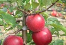 Hodowcy odmiany 'Ligol Red' uhonorowani