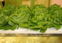 Nowe, lepsze warzywa dla konsumentów