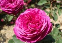 Webinarium różane – porcja wiedzy [VIDEO]