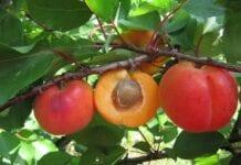 Morela o atrakcyjnych owocach do krajowych sadów