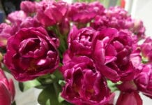 Wystawa Tulipanów – tym razem wirtualnie