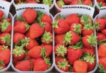 'Grandarosa' od kilku lat popularna w uprawie