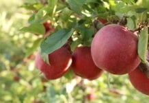 Nadchodzi kolejny jabłkowy sezon