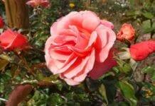 Róże w dobrym towarzystwie – zapraszamy na webinarium