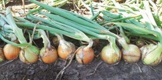 Uprawa cebuli 2021