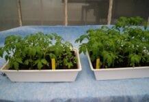 Mikroorganizmy ograniczające rozwój chorób odglebowych  w uprawie pomidora