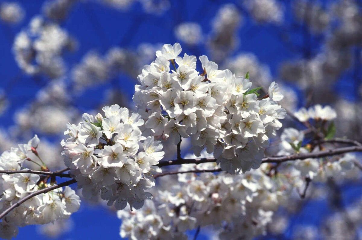 Kwiaty wiśni 'Yoshino',  fot. Scott Bauer, mat pras. ARS USDA