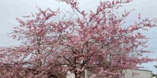 Wiśnie ozdobne w USA – klasyki kontra nowe odmiany