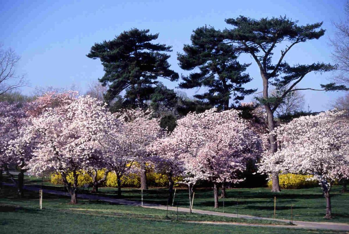 Wiśnie jedoeńskie 'Yoshino' w czasie kwitnienia w Waszyngtonie, fot. Scott Bauer, mat pras. ARS USDA