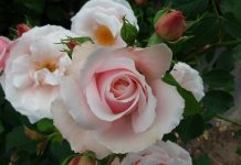 Królewska Wystawa Kwiatów