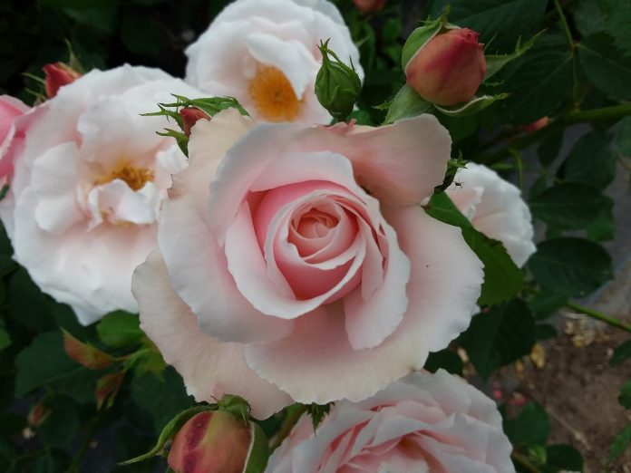 róża 'Królowa Warszawy'