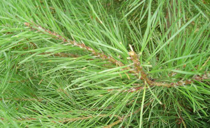 Samice Toumeyella parvicornis na pędach sosny zwyczajnej