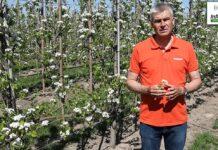 Nawożenie i ochrona grusz w fazie kwitnienia – Komunikat sadowniczy Agrosimex z dnia 13.05.2021