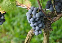 Uproszczenia i ułatwienia w projekcie ustawy o wyrobach winiarskich