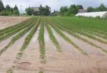Jakie zabiegi warto wykonać na plantacji warzyw gruntowych po ulewie i gradobiciu?