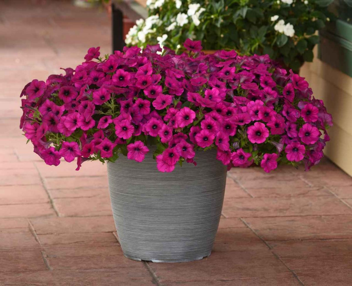 Petunia Wave® 'Purple Classic'