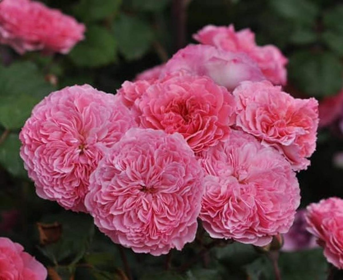 Róża INCREDIBLE FRUITY 'Bozmilefra' PBR