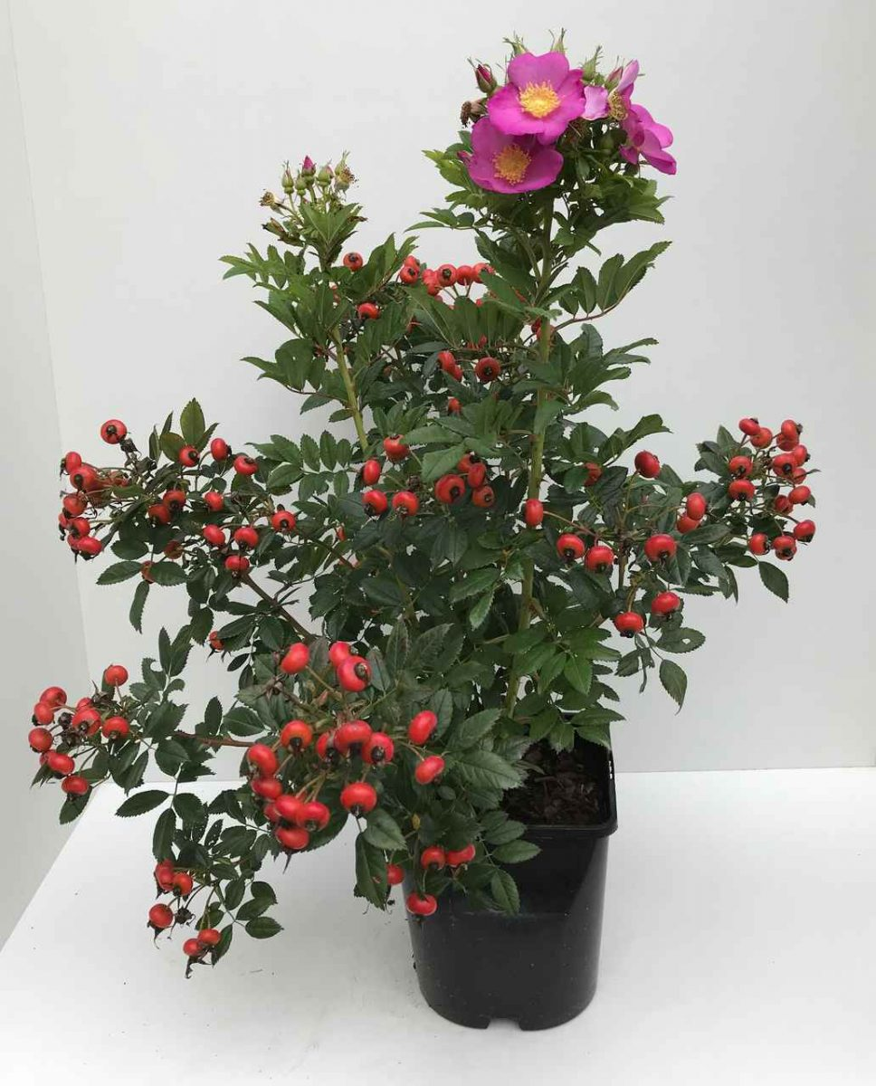 Róża JAM-A-LICIOUS® 'Spekjam' PBR