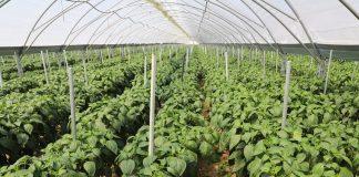 Czy ochrona biologiczna wkrótce będzie koniecznością w uprawie warzyw? [VIDEO]