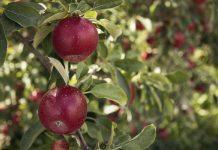 Komu smakują polskie jabłka?
