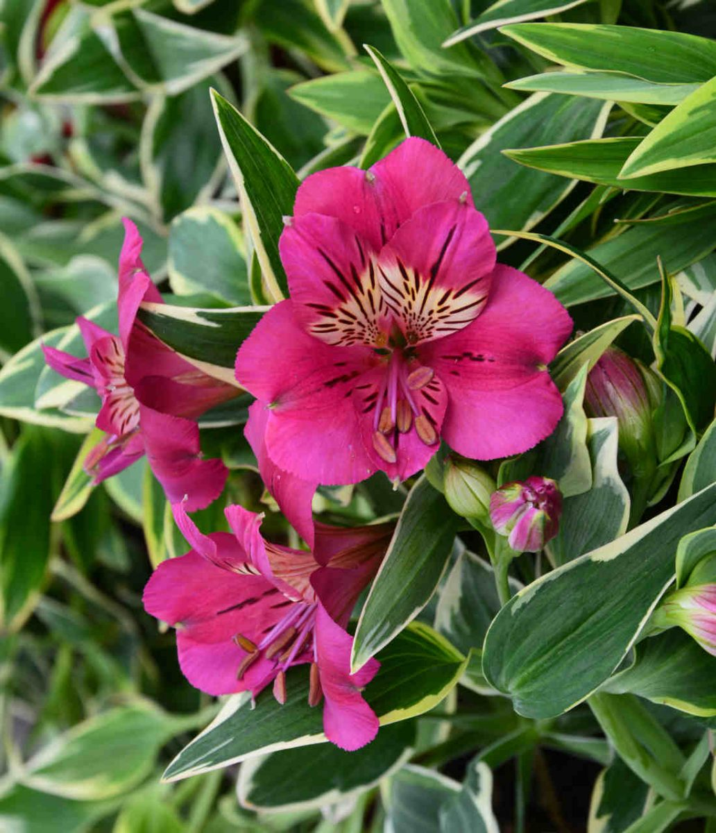 Alstremeria (Alstroemeria) RIVER VALLEY® 'Tessumriver' PBR