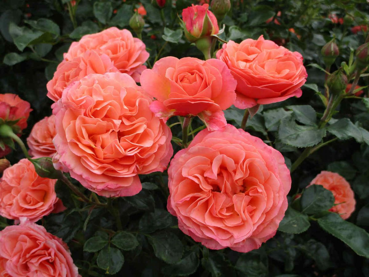 Róża Coral Lions-Rose®