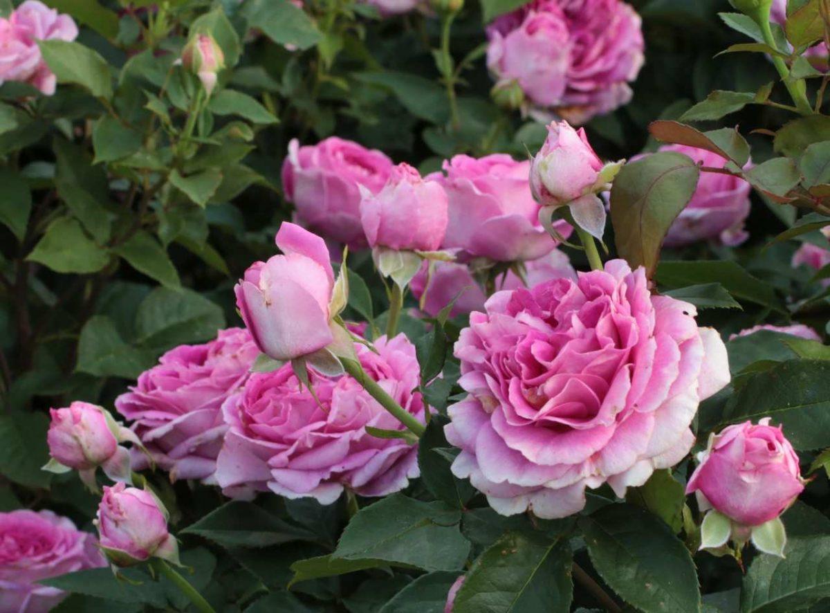 Róża Fräulein Maria®