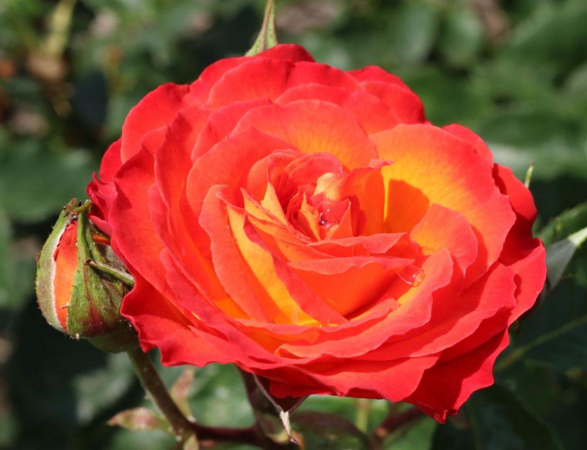 Róża Vulcano®
