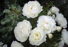 Róże z certyfikatem ADR 2020