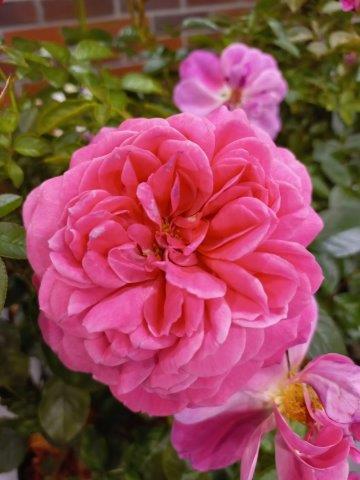 Róża  INCREDIBLE FRUITY/'Bozmilefra'PBR fot. I. Sprzączka