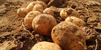 Ceny ziemniaków w sierpniu 2021 r.