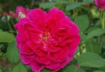 Różane księżne